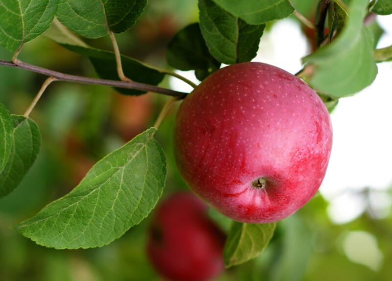 Æbletræ biofruitnet