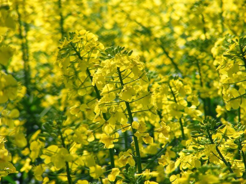 Field of rapeseeds 2170738